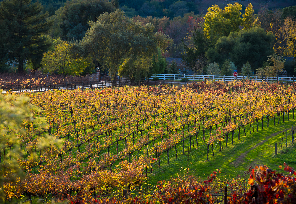Aver-Family-Vineyards-Gilroy-Winery-Vineyard-Slop-In-Fall.jpg