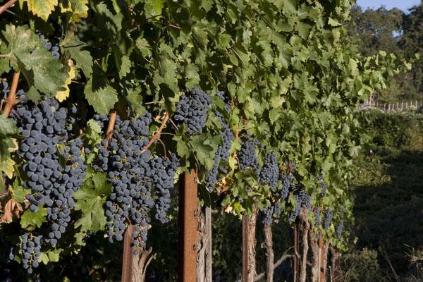 full-vines.jpg