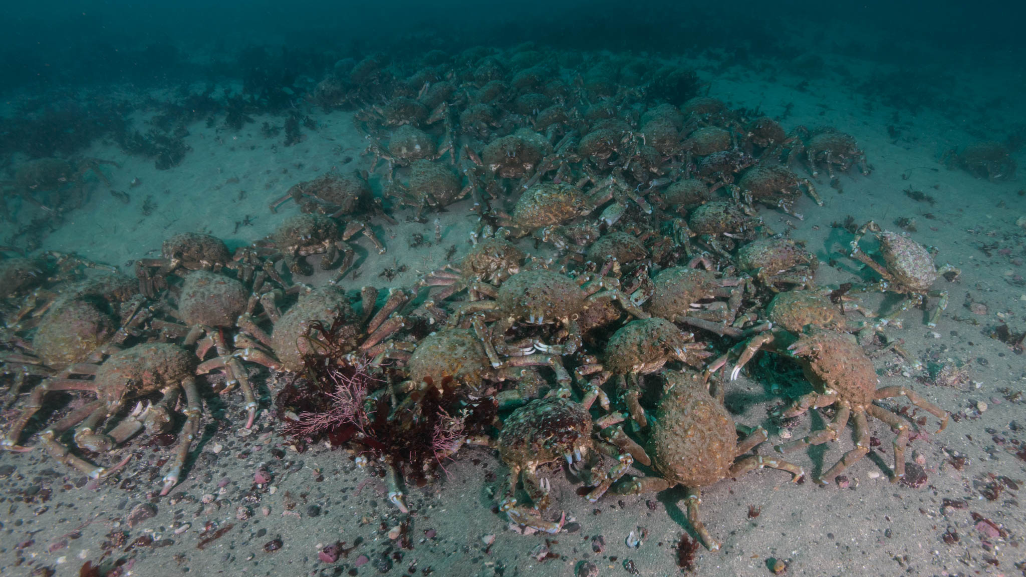 Sheep Crabs