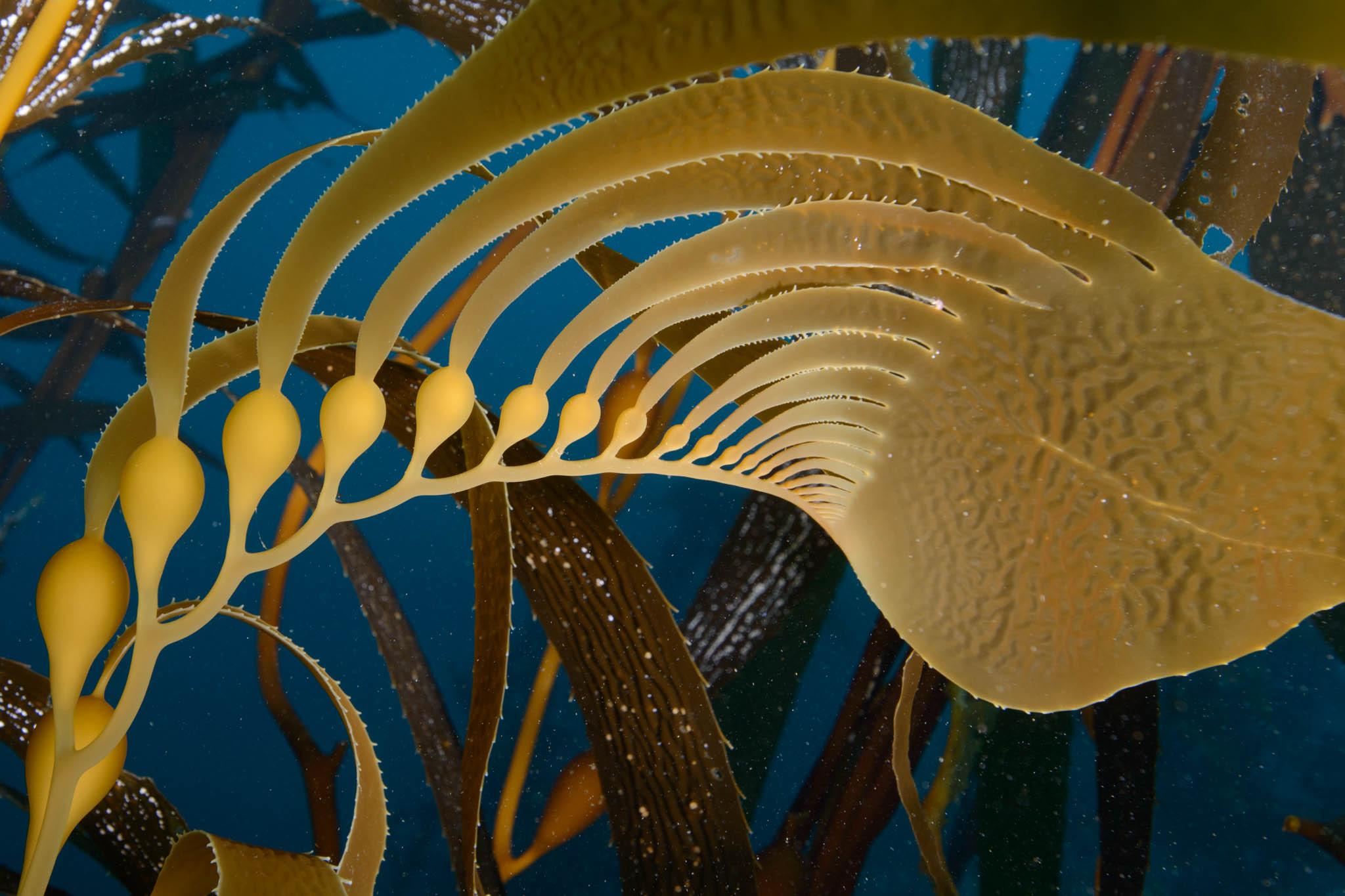 Macrocystis Kelp