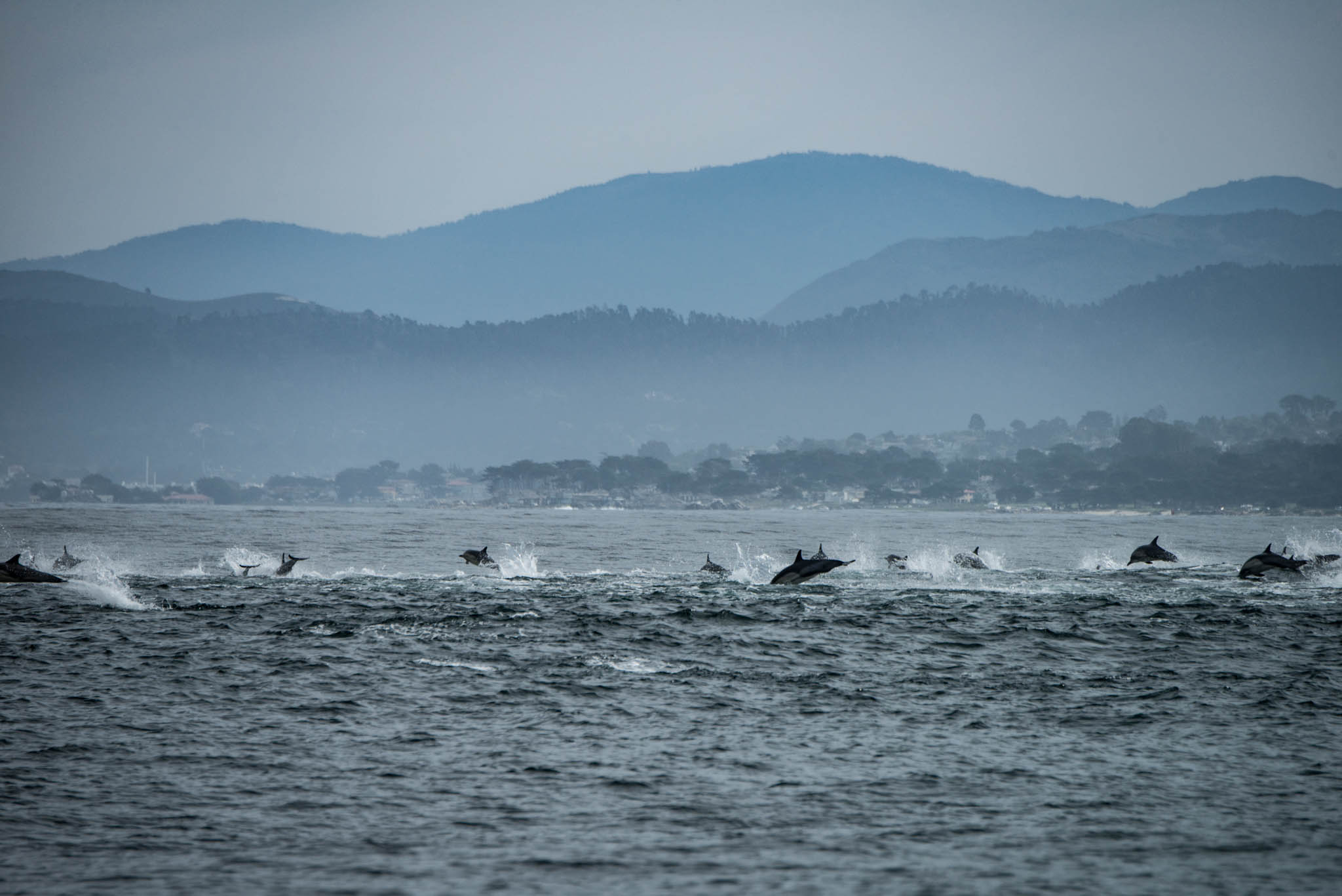 Common Dolphins Fleeing Orcas