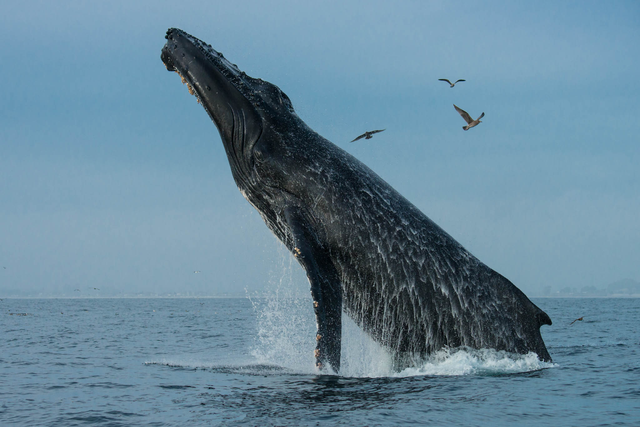 Humback Breaching