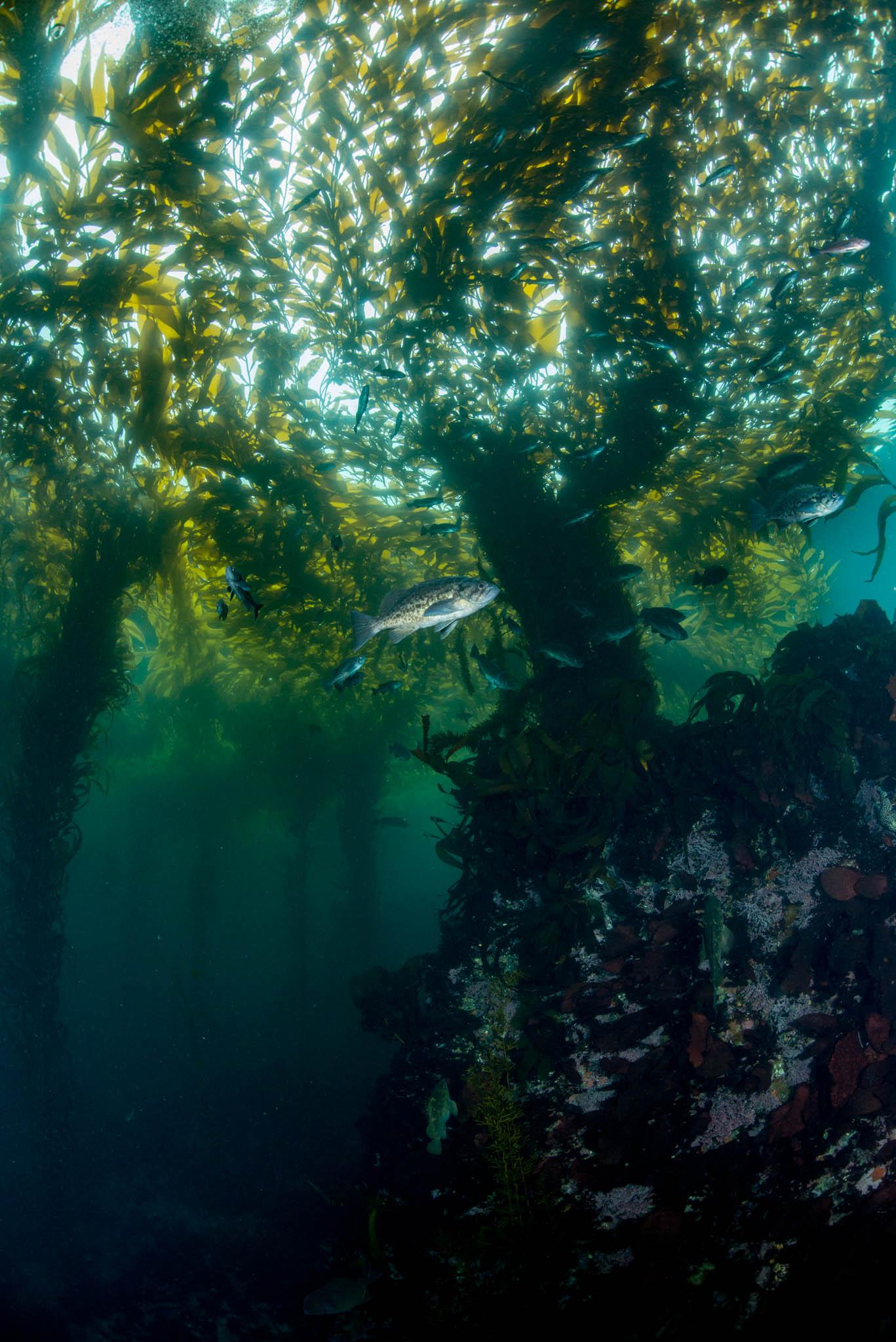Point Lobos Kelp Forest