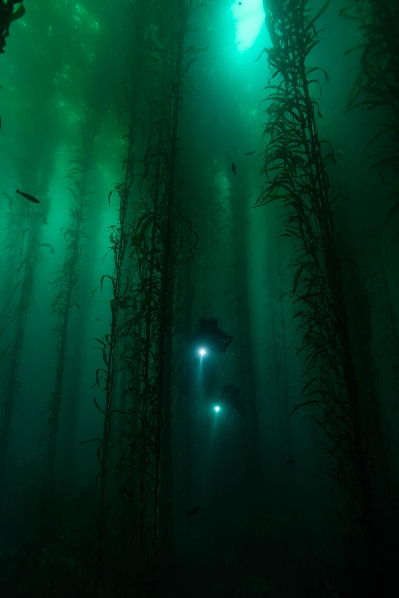 Scuba Divers in Kelp