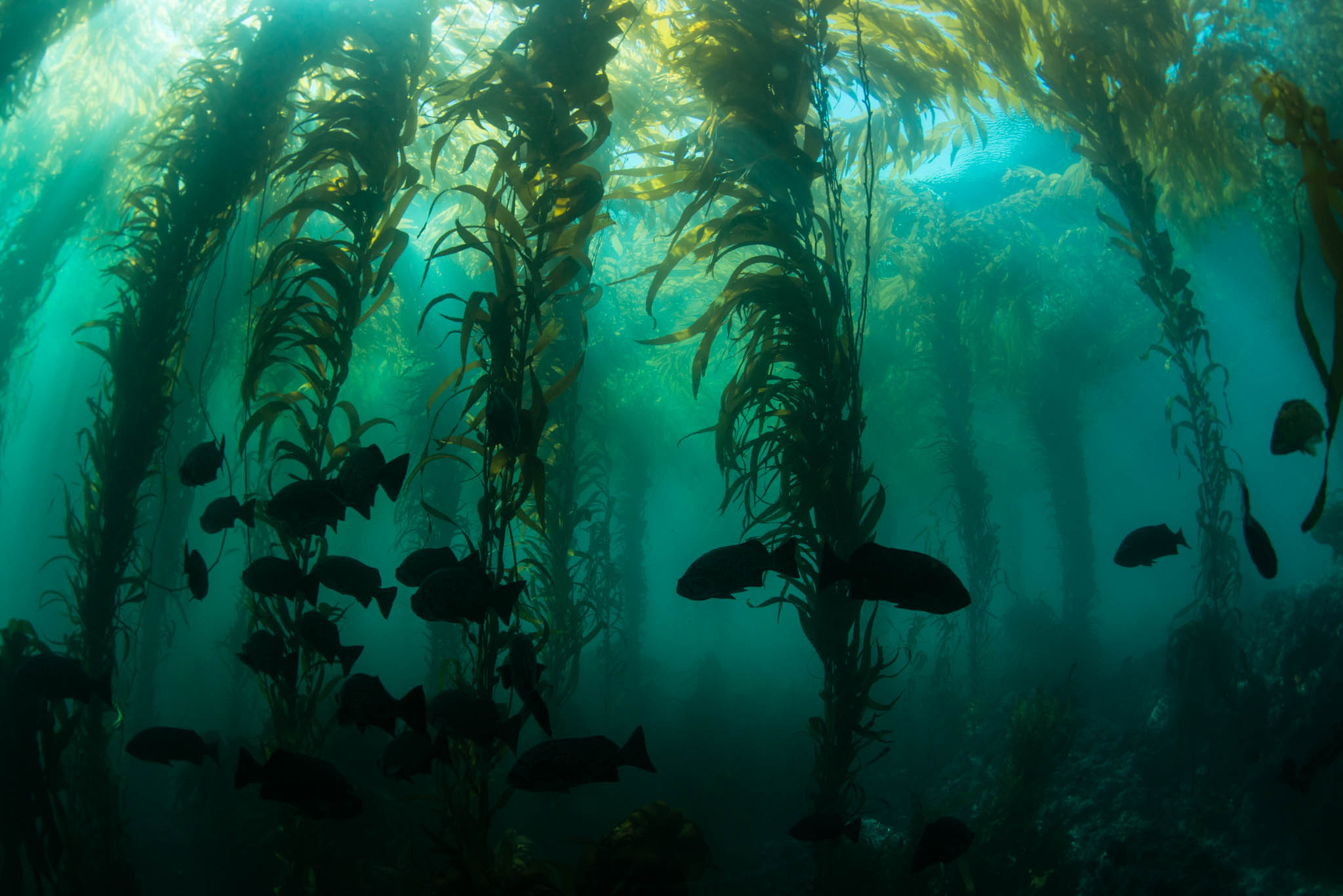 Point Lobos Kelp