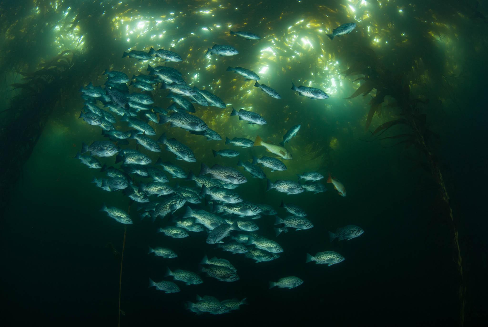 Blue Rockfish in Kelp