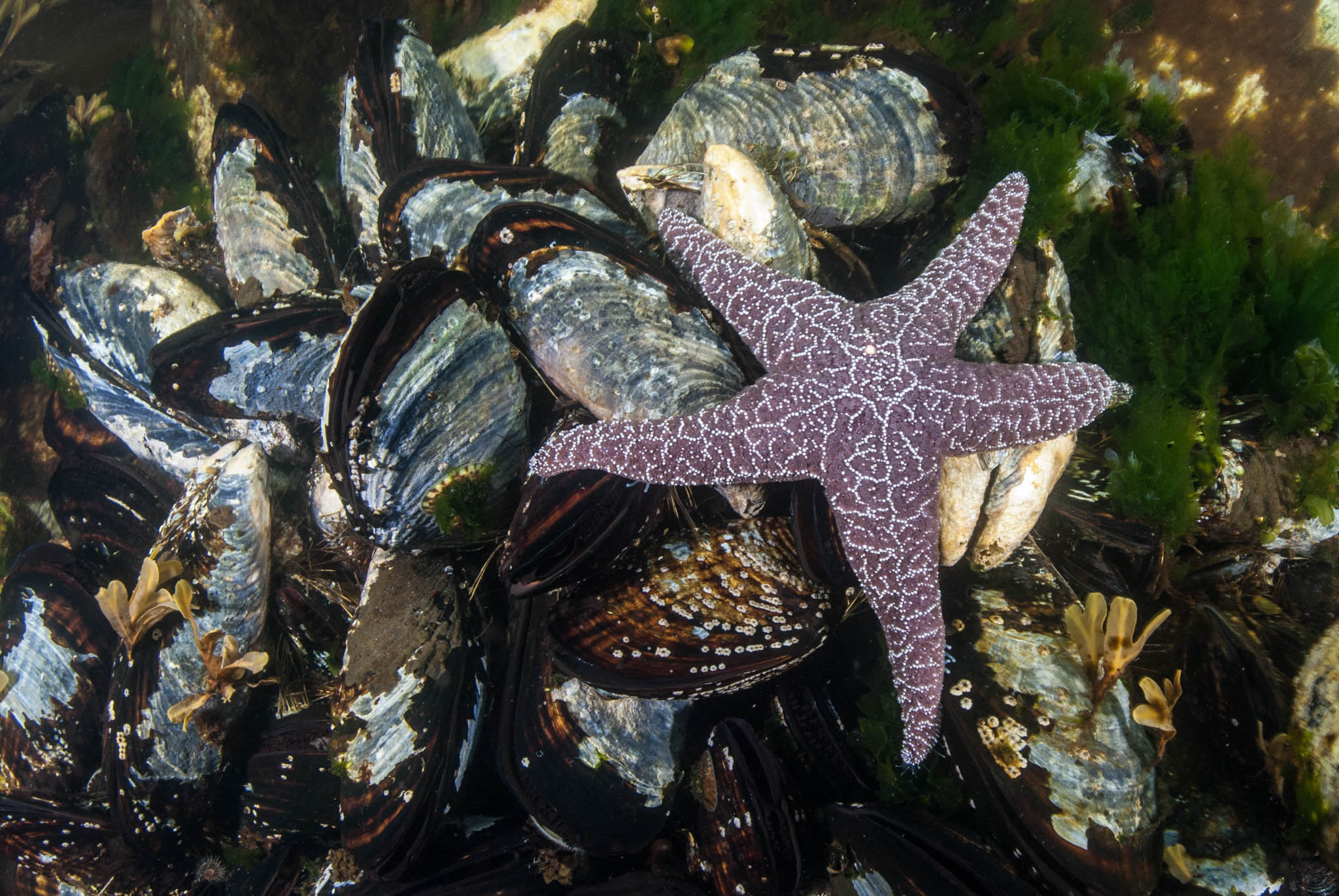 Seastar and Mussels