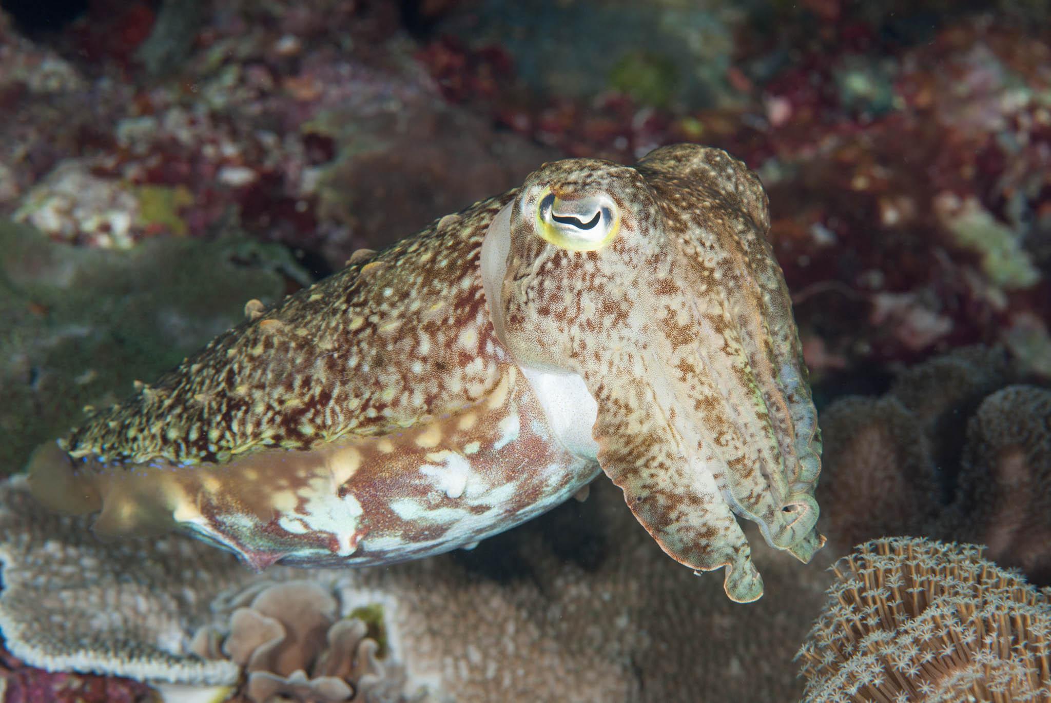 Broadband Cuttlefish