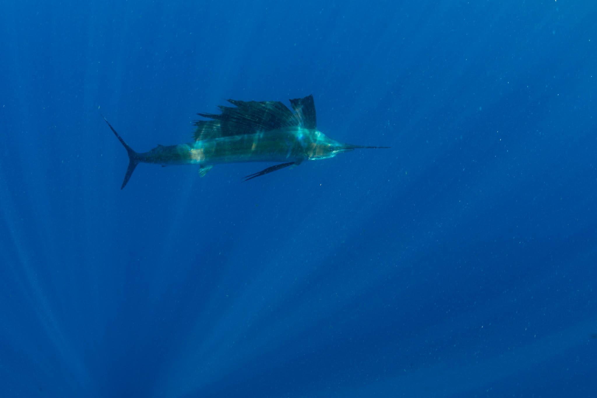 Sailfish!