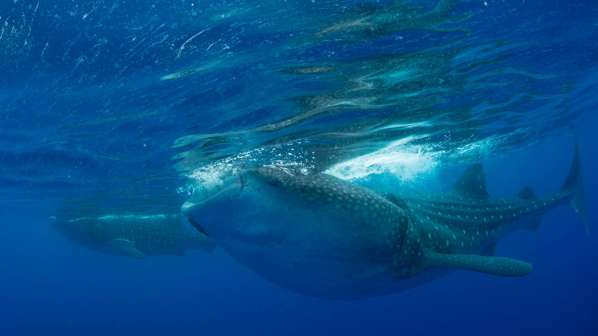Dos Tiburones Ballenas