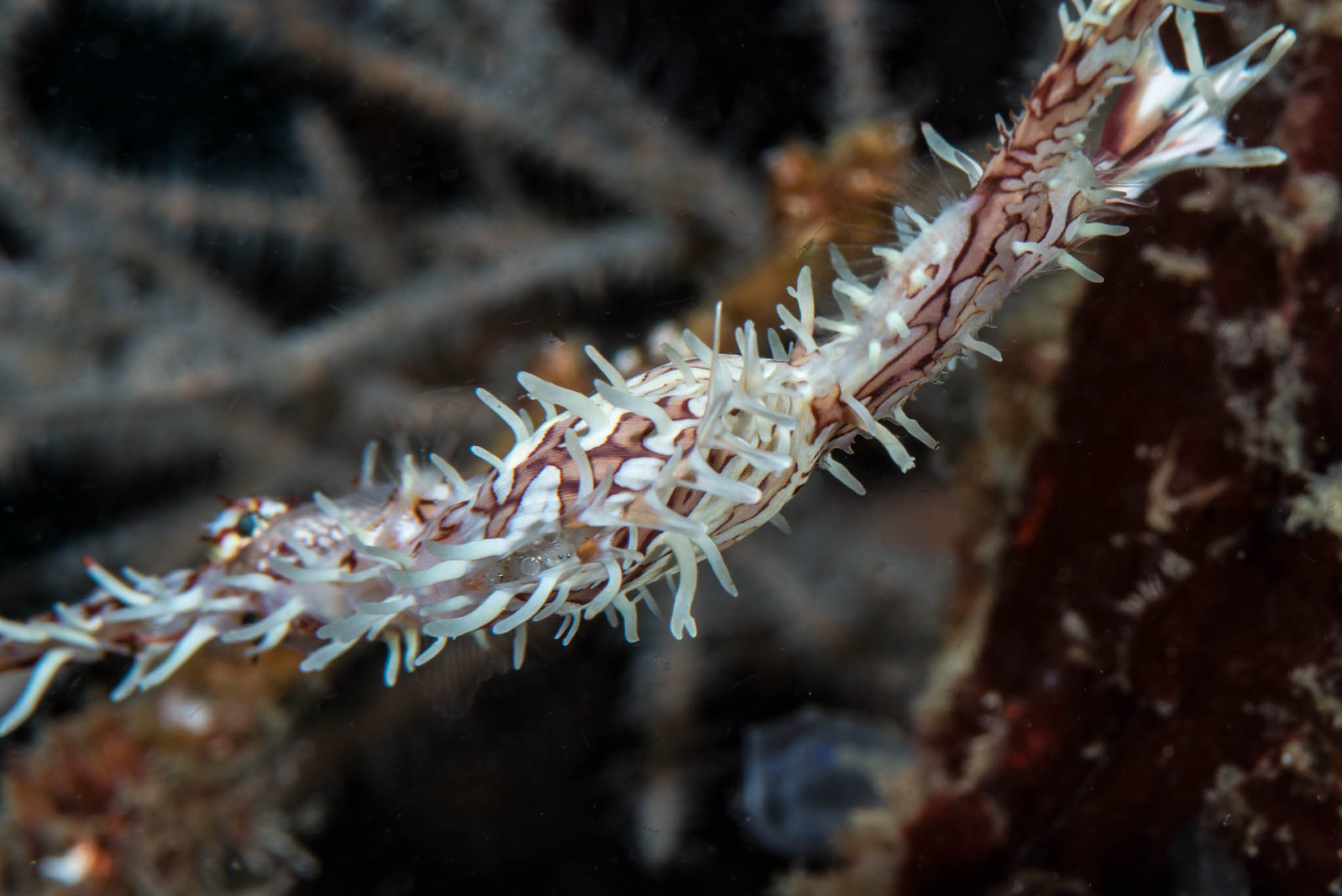 Pregnant Ornate Ghost Pipefish