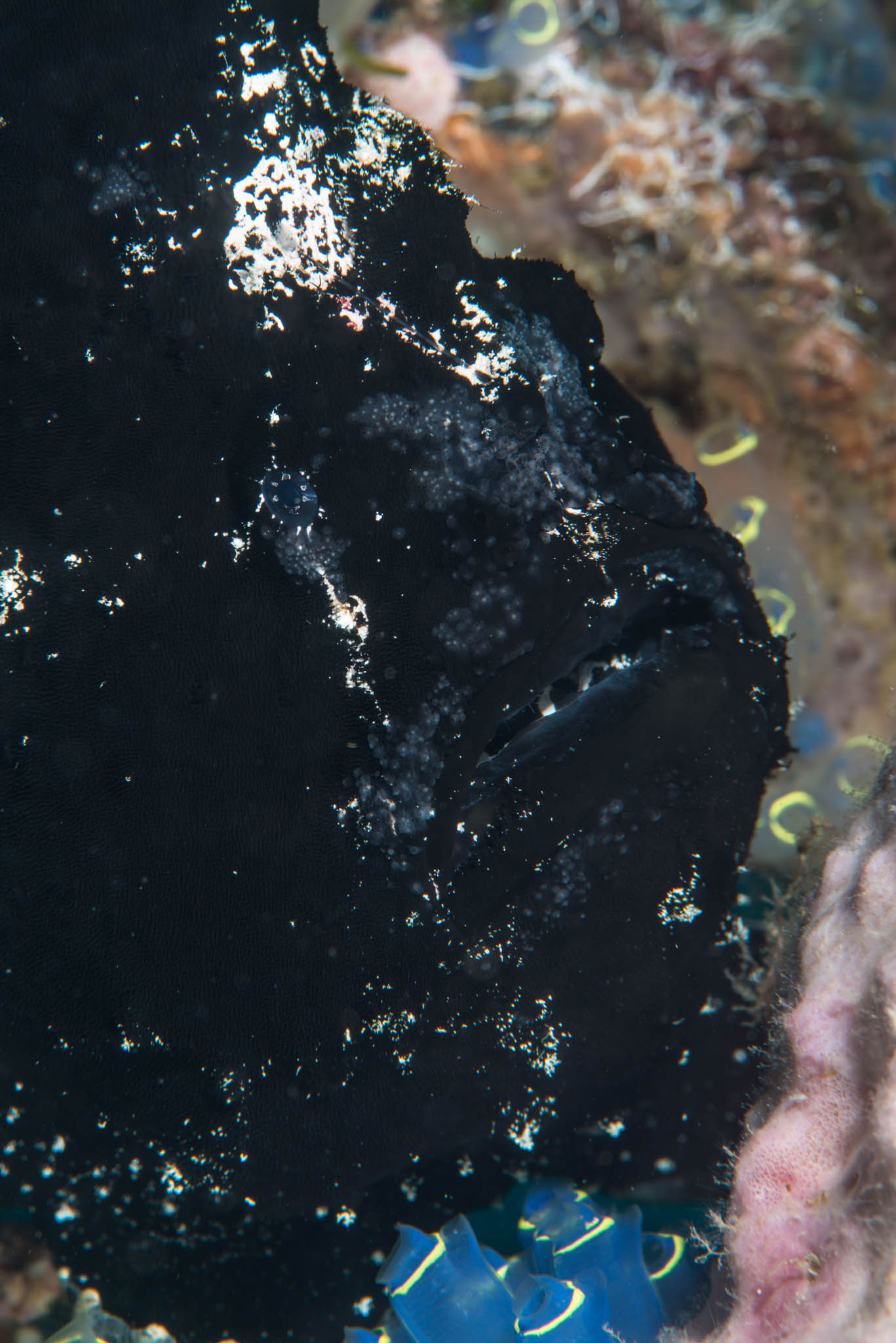 Giant Black Frogfish