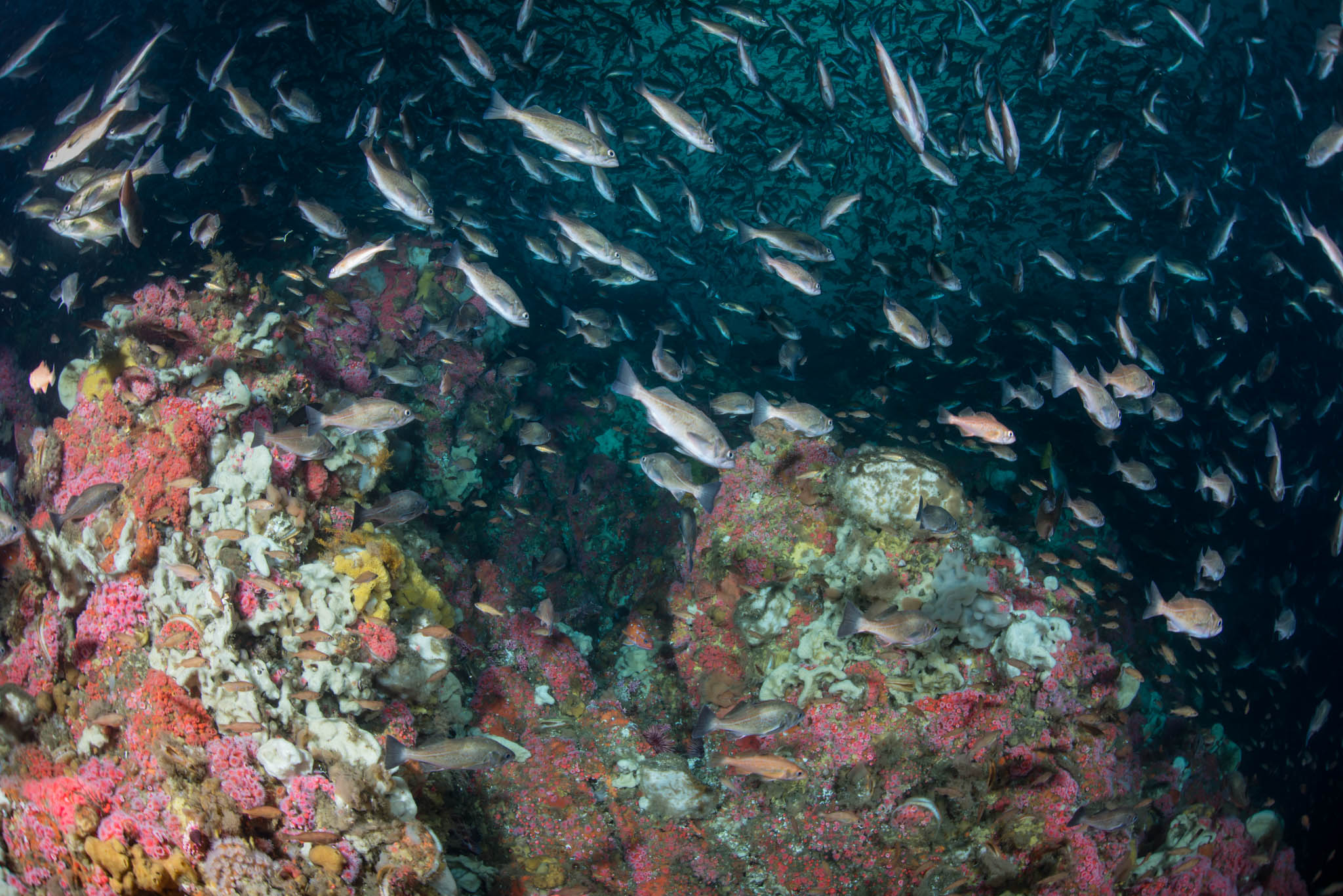 More Reef, More Rockfish