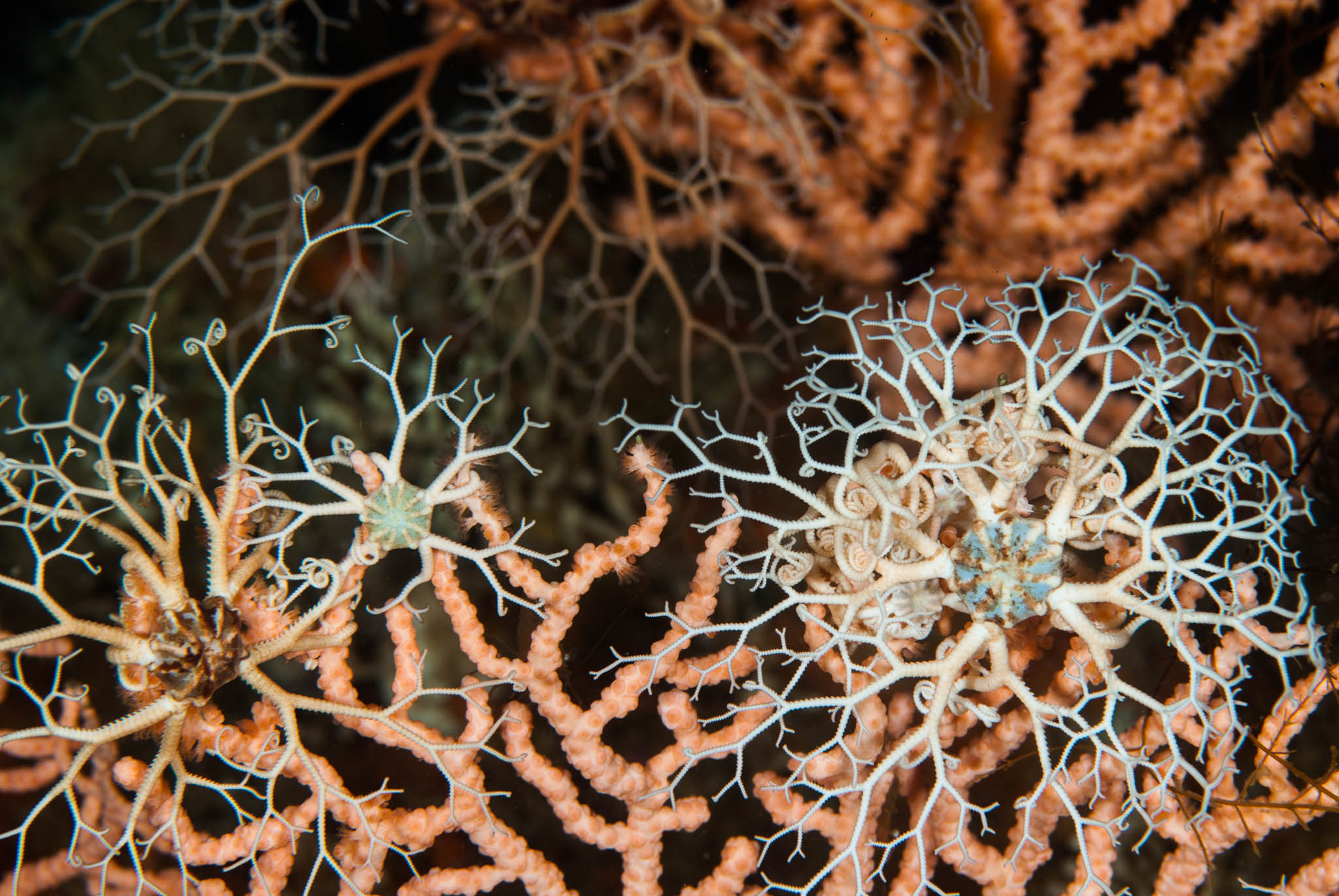 Basket Stars on Gorgonians