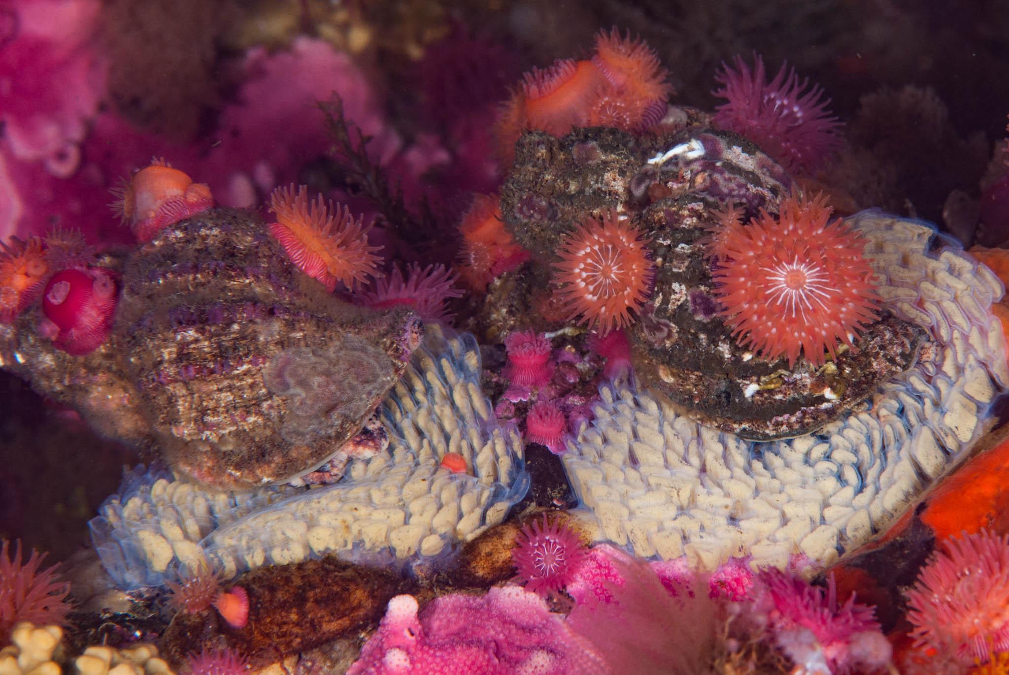 Fusitriton oregonensis