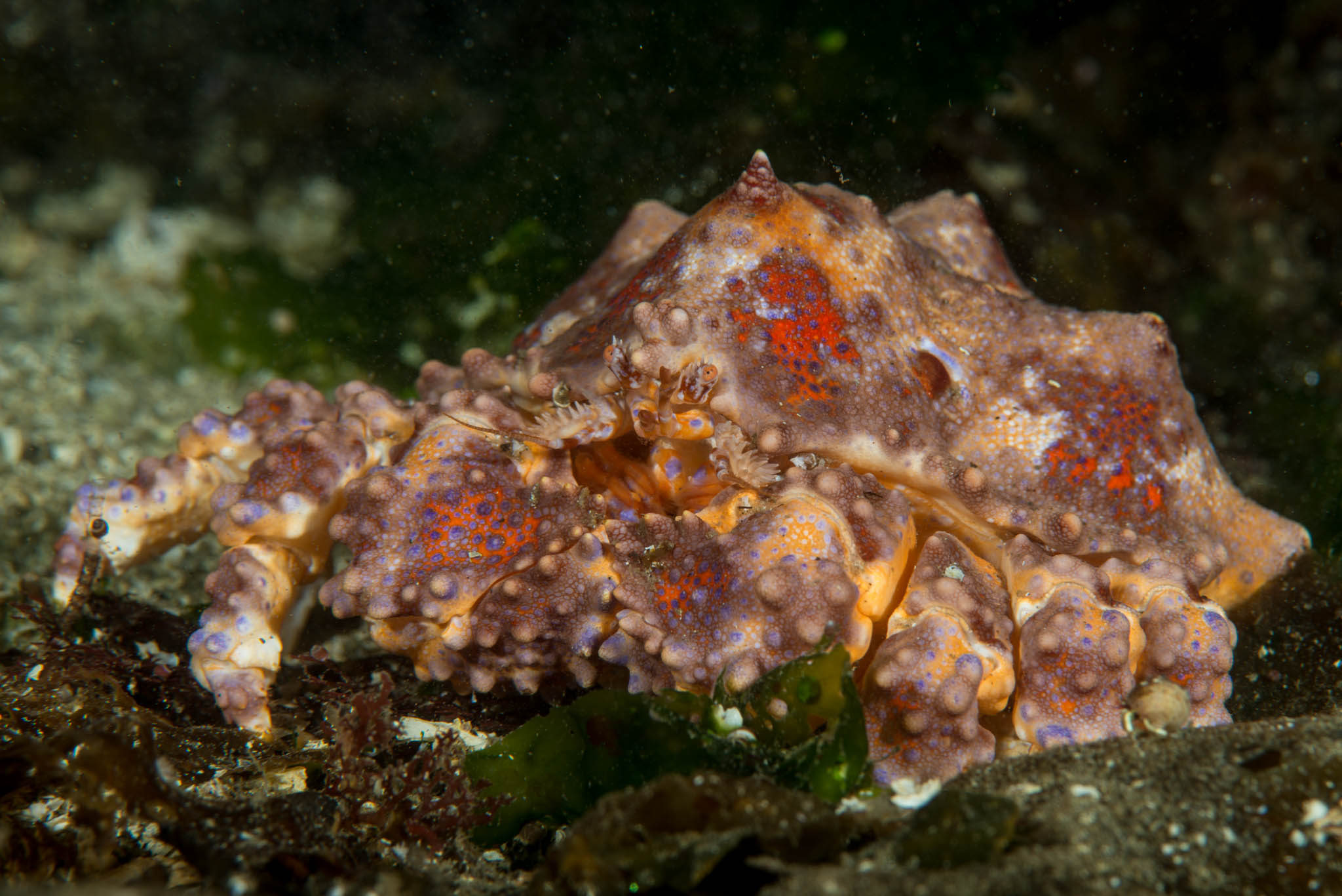 Puget Sound King Crab