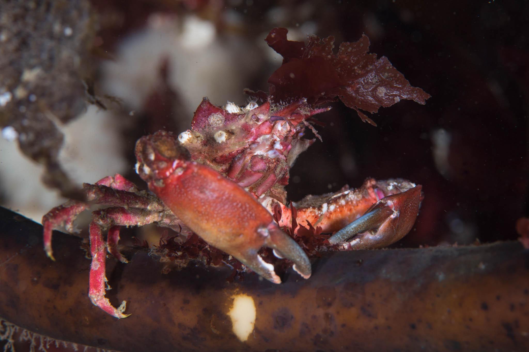 Winged Kelp Crab