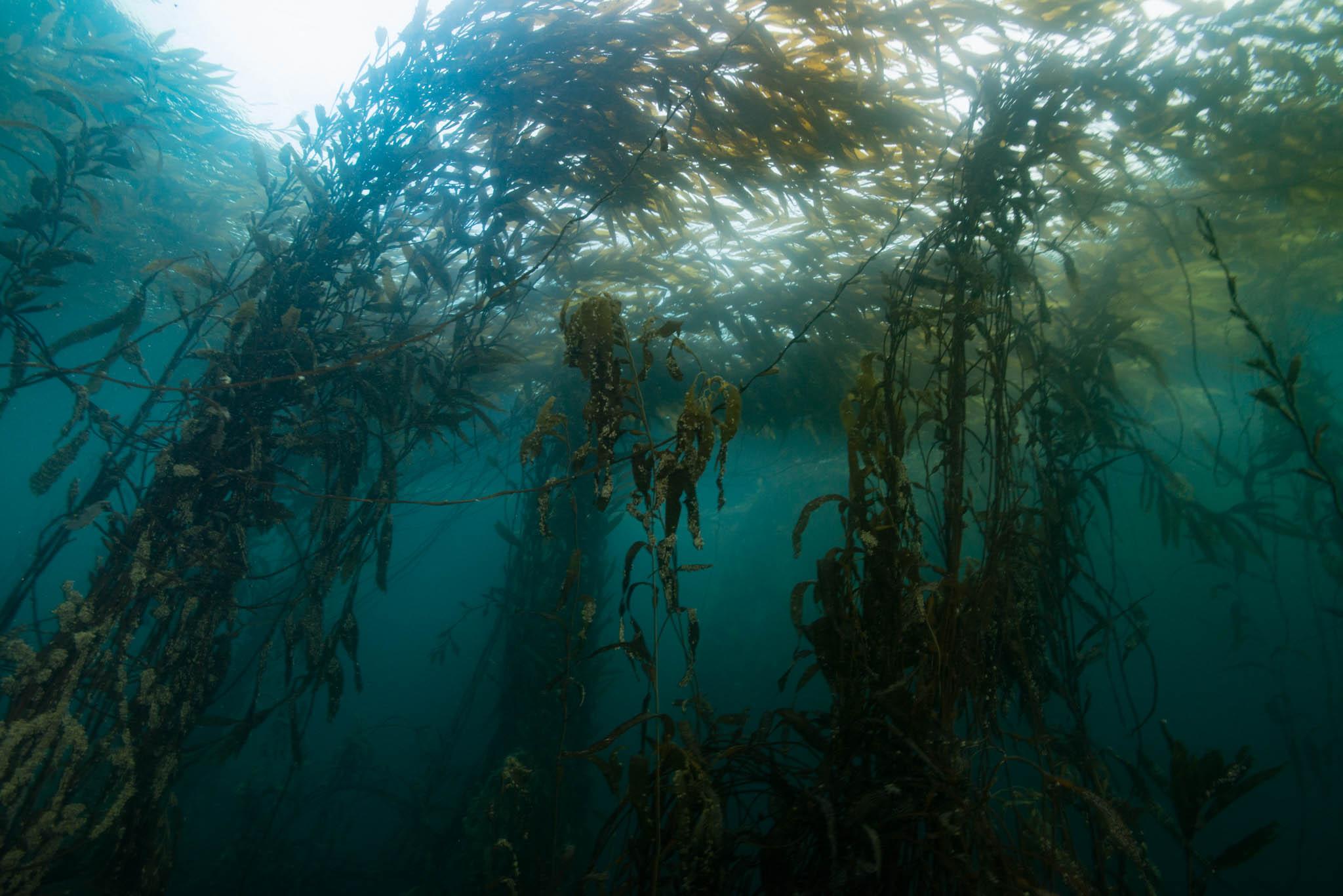 Macrocystis Kelp Forest