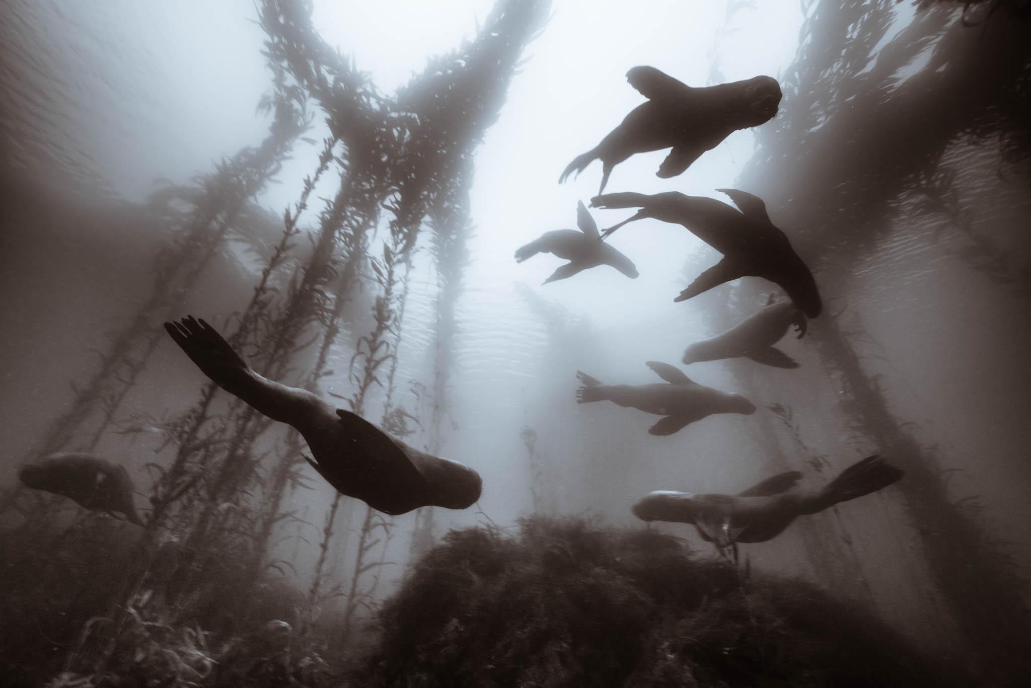Sea Lions in Kelp