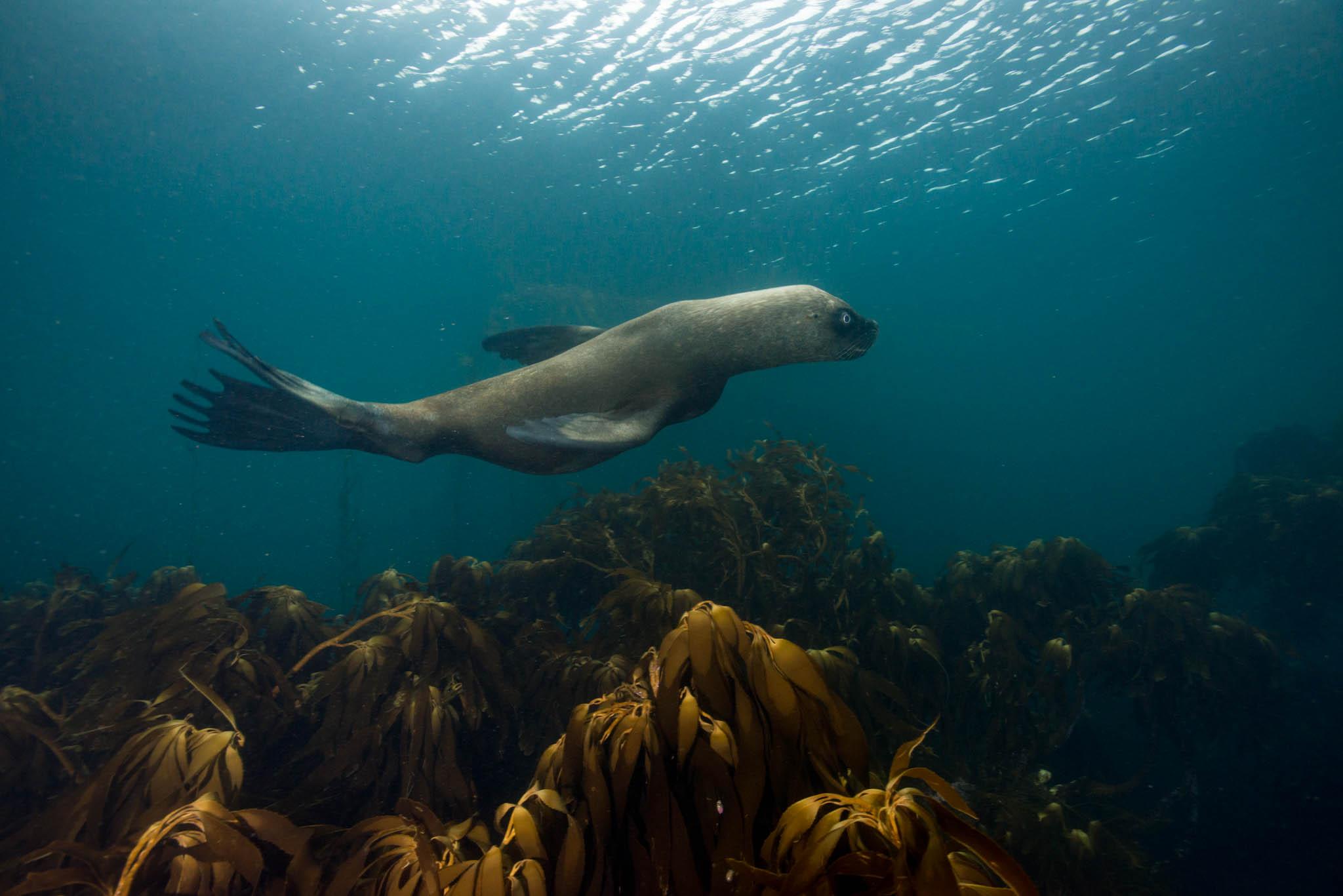 Sea Lion above Palm Kelp