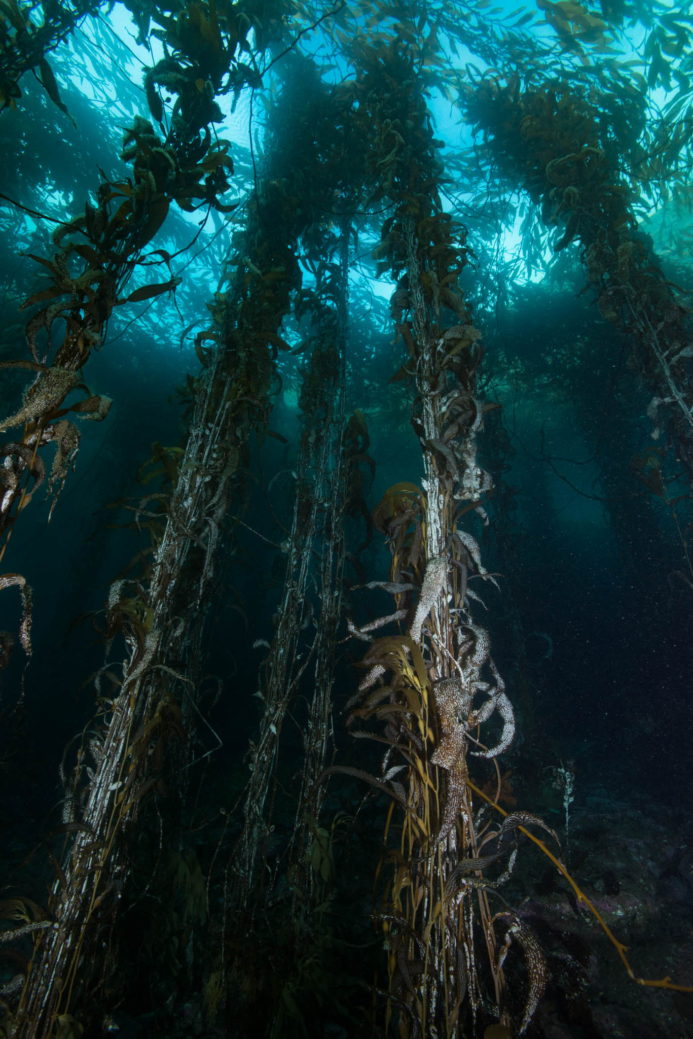 Macrocystis Forest
