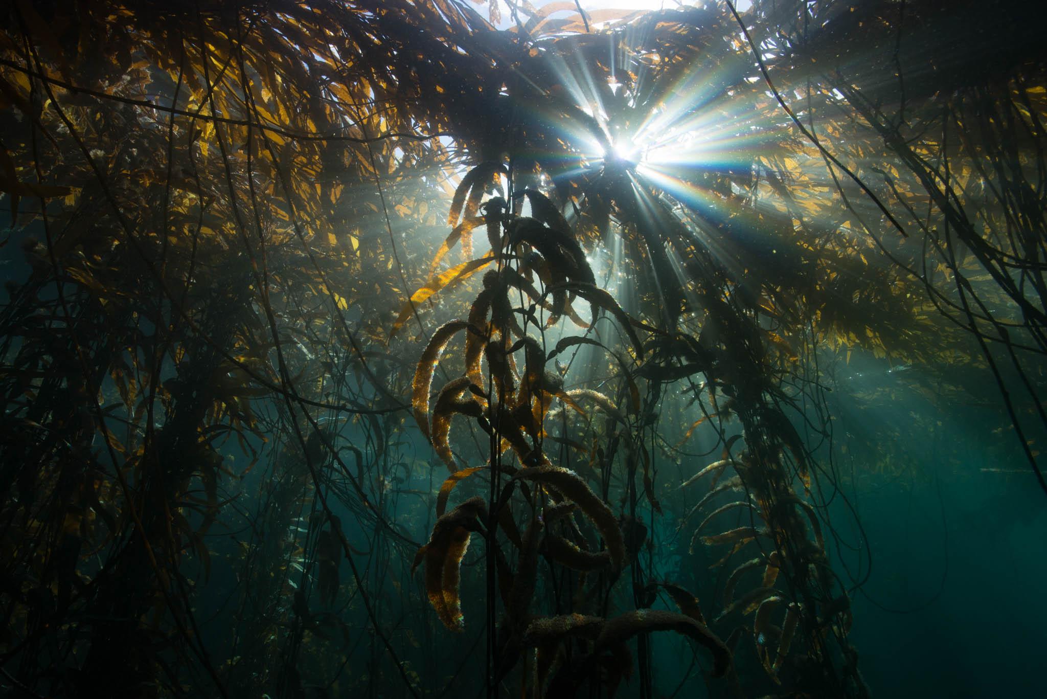 Sunbeams in Kelp