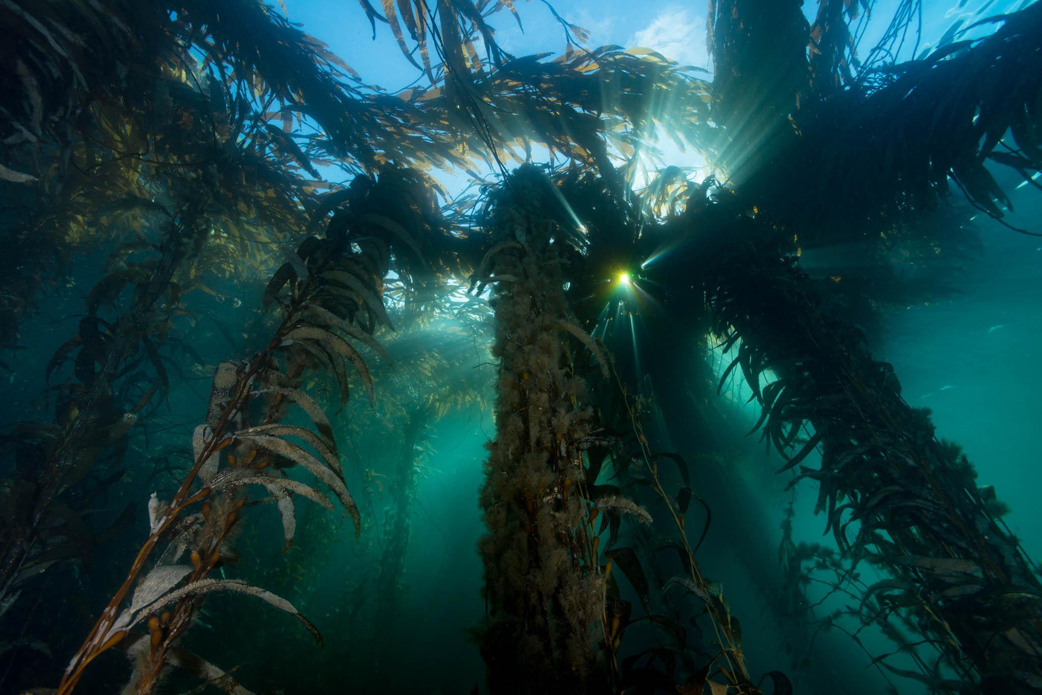 Falkland Islands Kelp Forest
