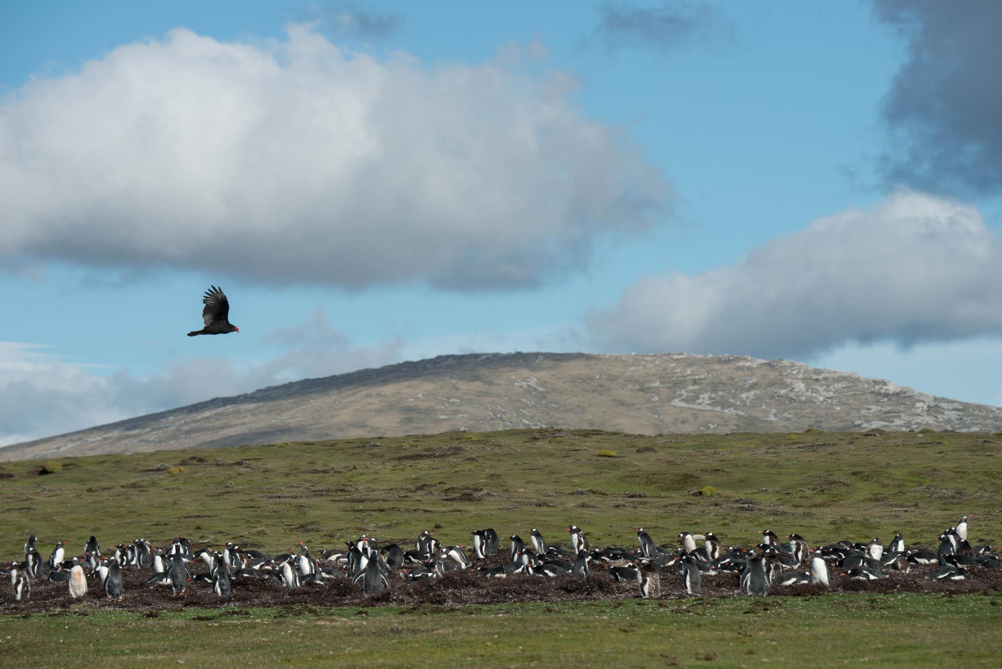 Turkey Vulture overflying Gentoo Penguins