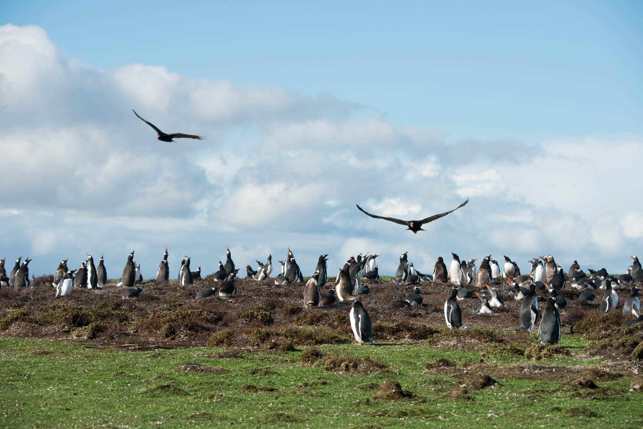 Turkey Vultures over Gentoo Penguins