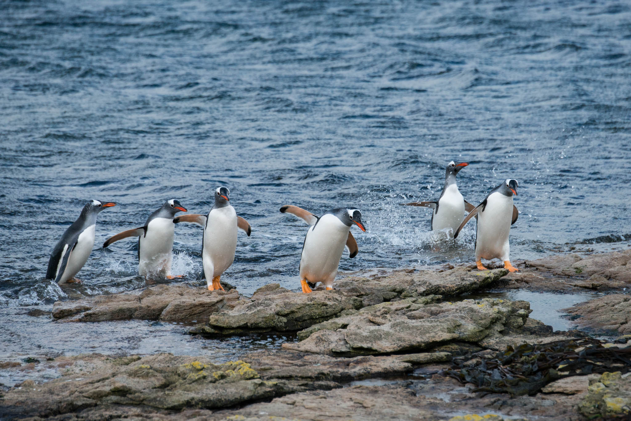 Gentoo Penguins Returning From The Sea