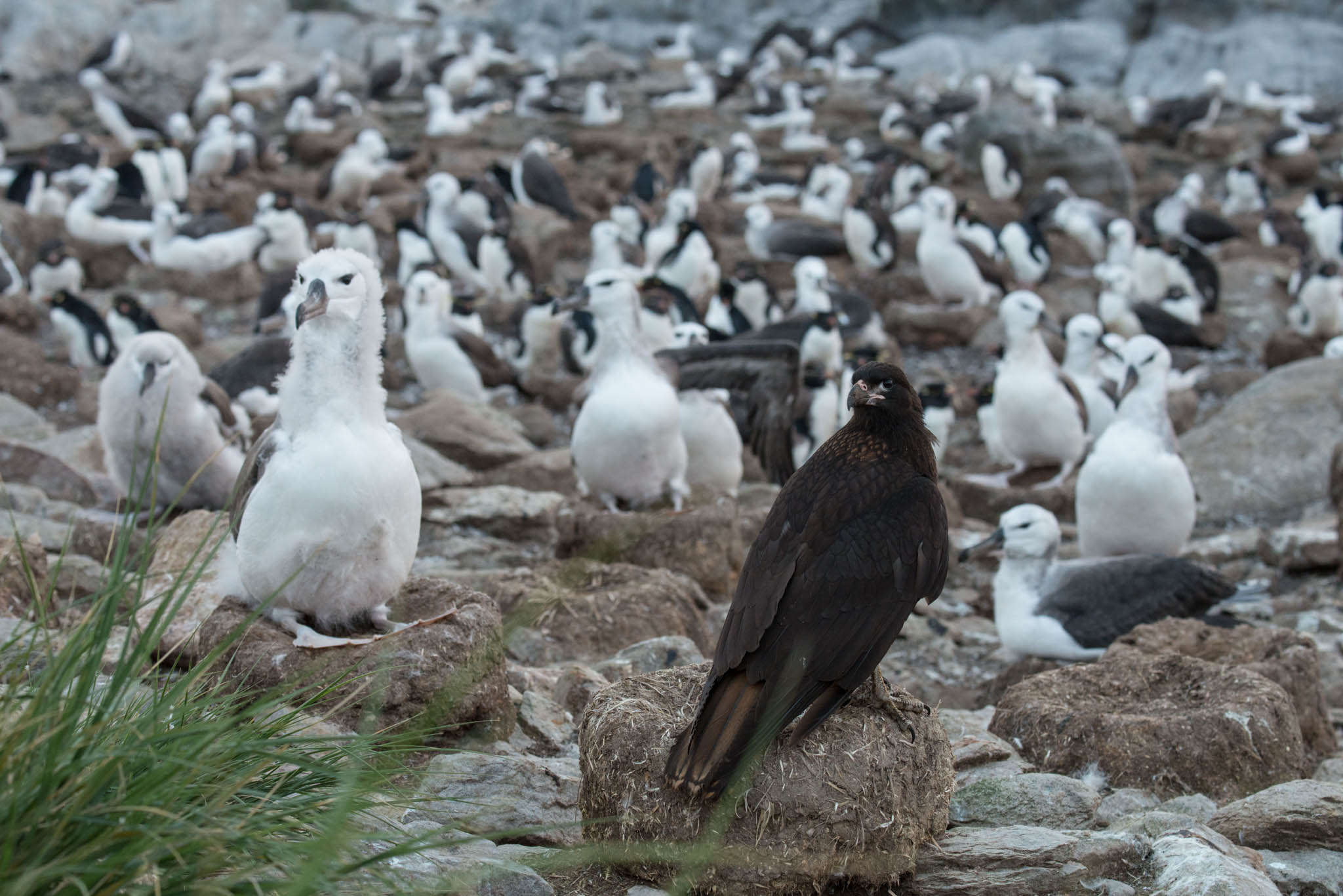 Black Browed Albatross Colony with Striated Caracara