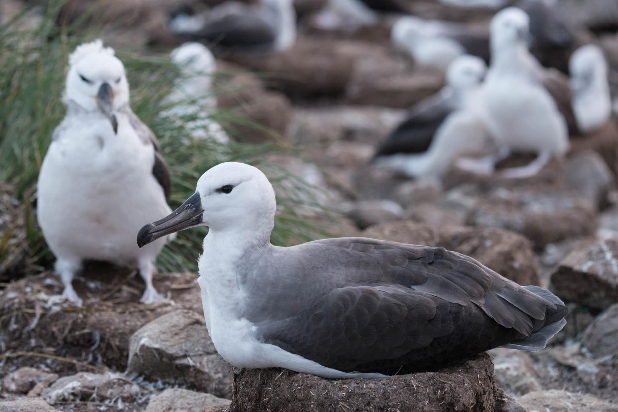 Black Browed Albatrosses
