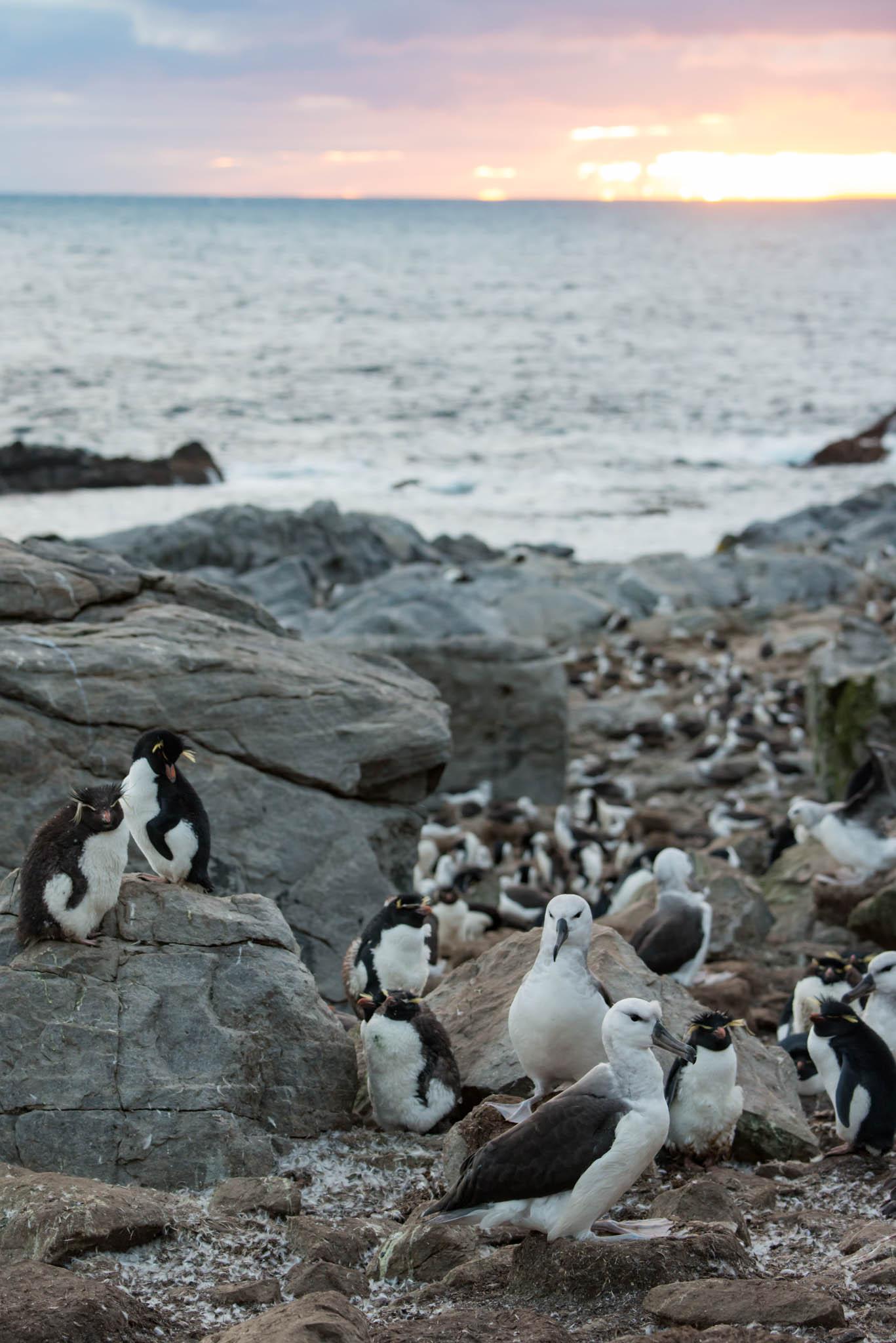 Black Browed Albatrosses and Rockhopper Penguins