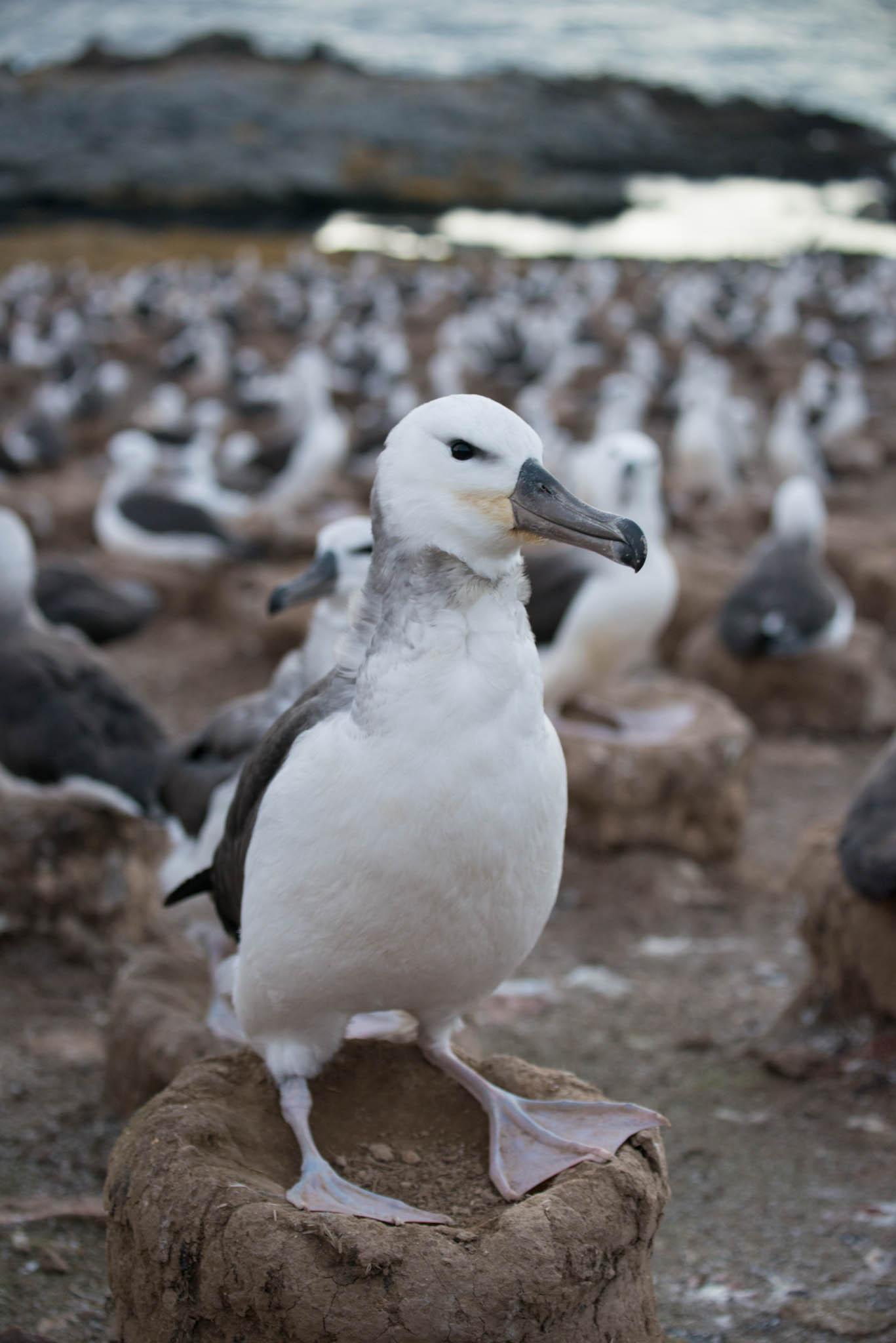 Black Browed Albatross Chick