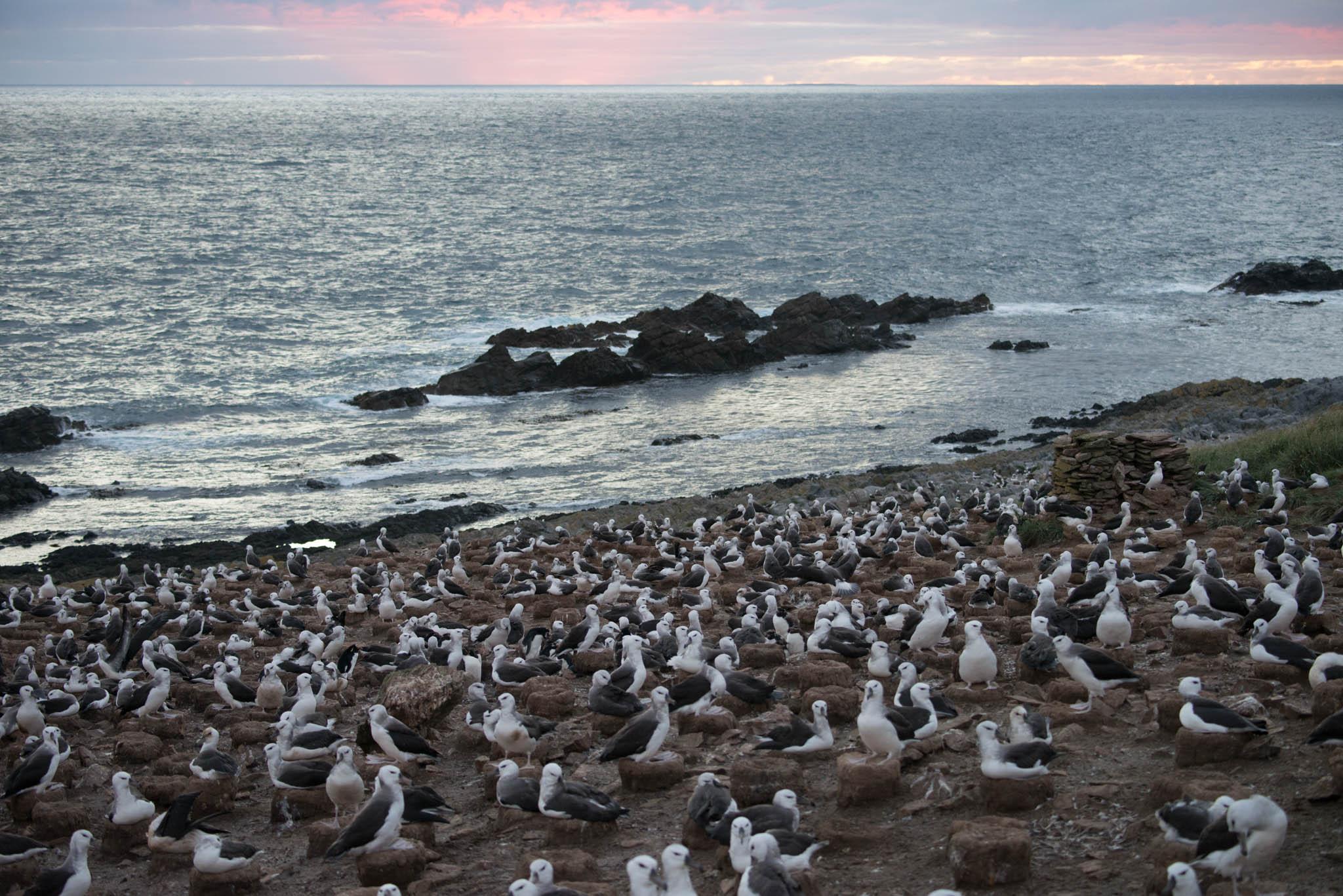 Black Browed Albatross Colony
