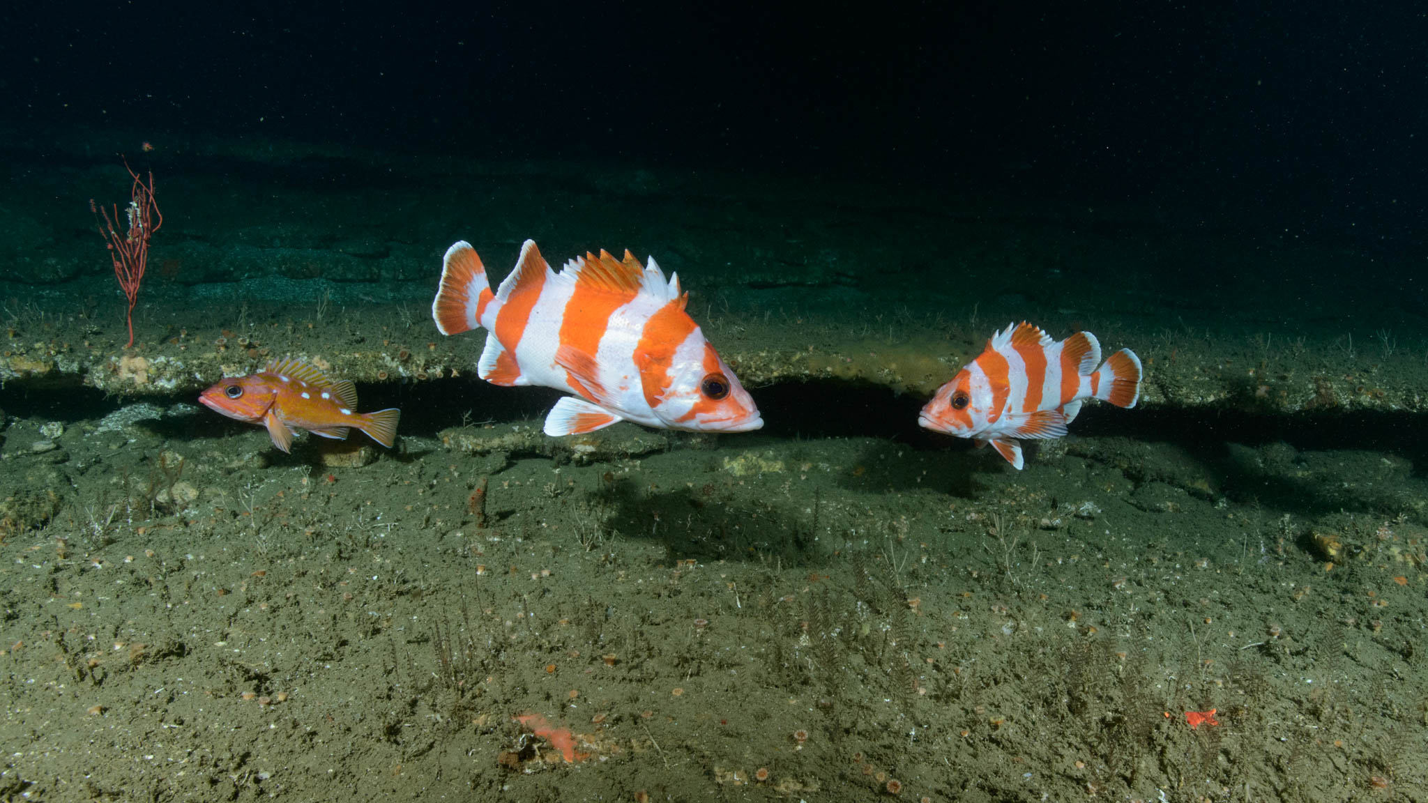 Flag and Rosy Rockfish