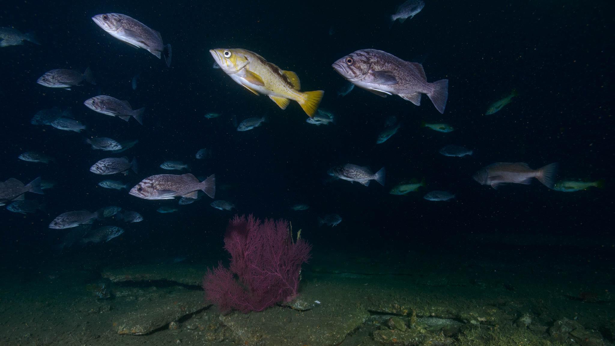 Rockfish and Gorgonian