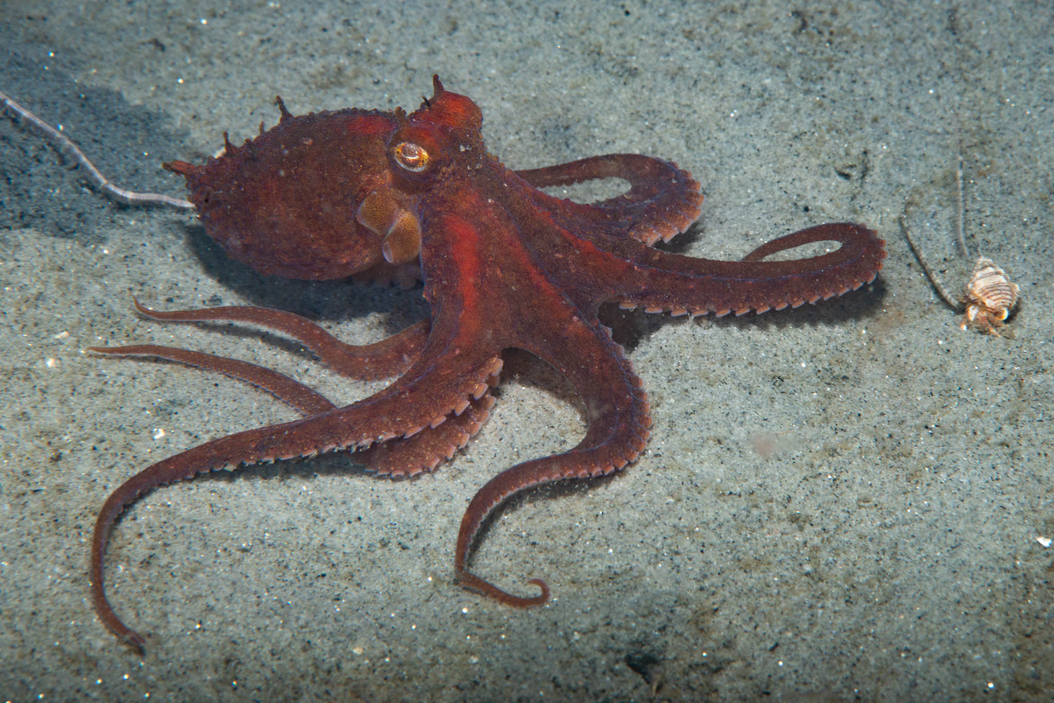 Red Octopus
