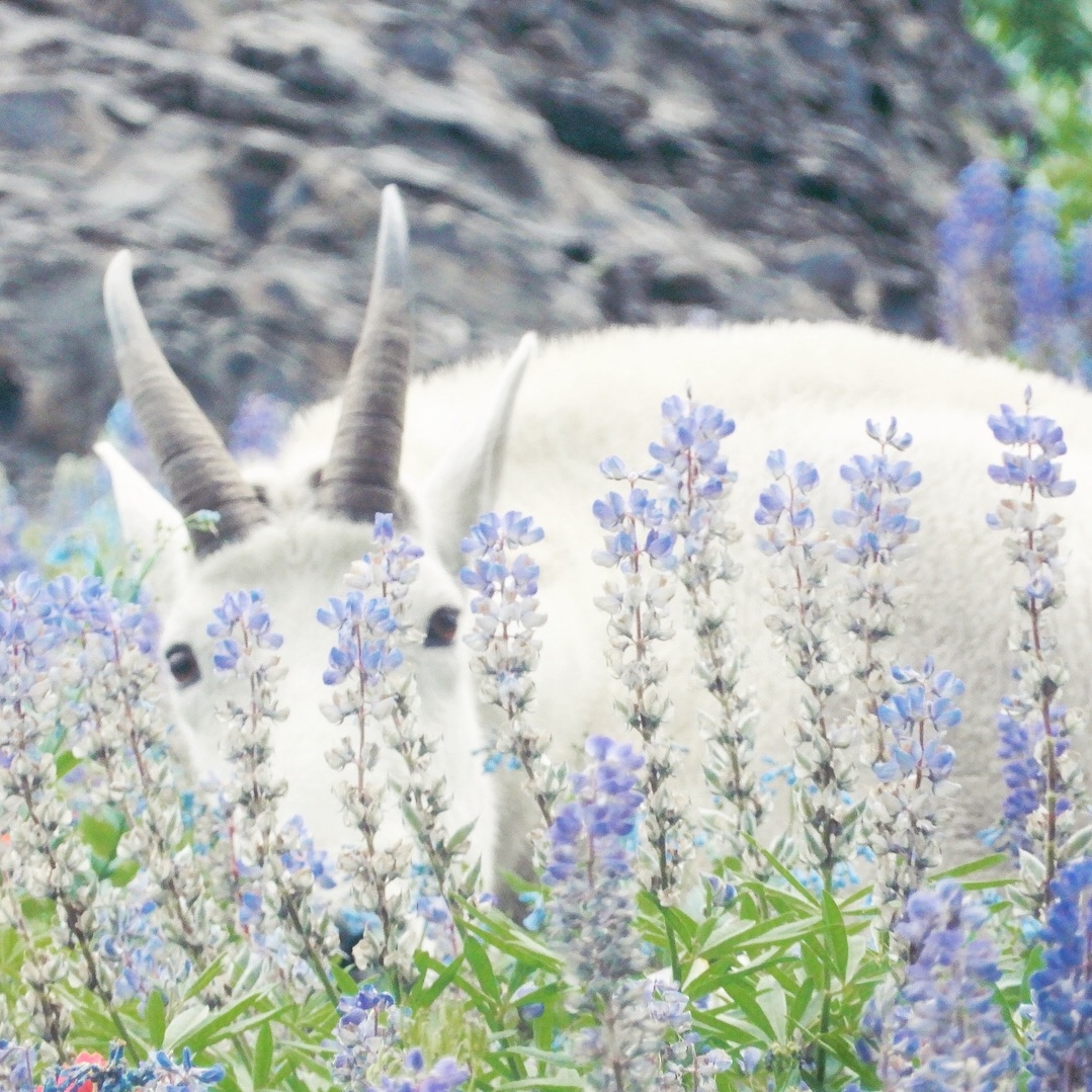 ::PeekAPoo:: the popular goat::