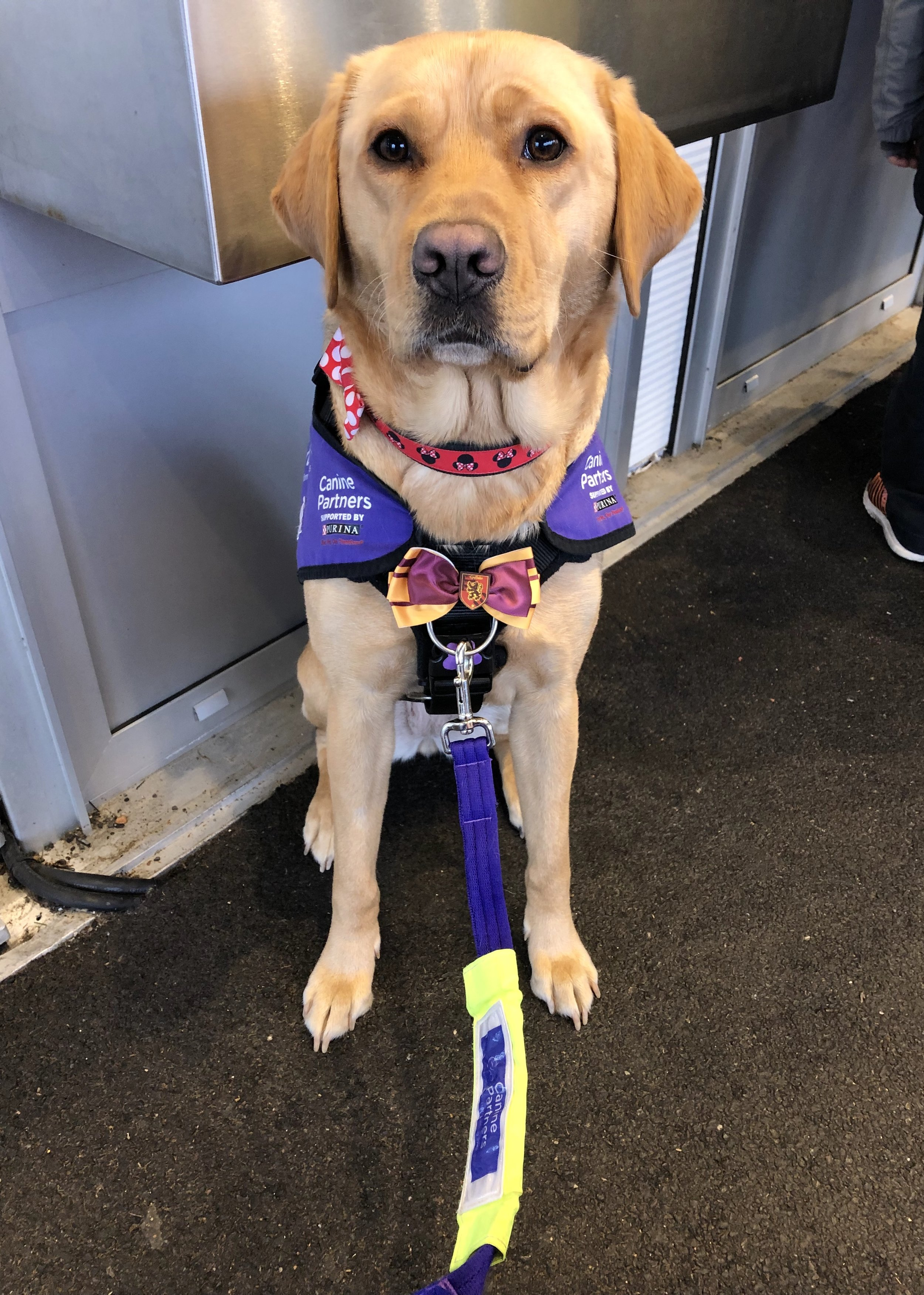 Fliss waiting for her assistance dog ID to be checked over, whilst sporting her Gryffindor Bow