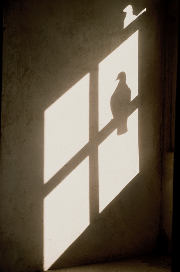 900.054.Pigeon Shadow, single.jpg