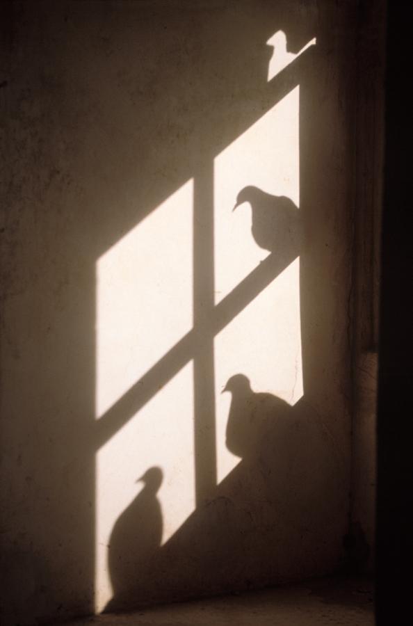 900.082. 3 Pigeon Shadows-7.5#.jpg
