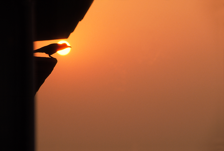 900.113.Raven Silhouette,India.jpg