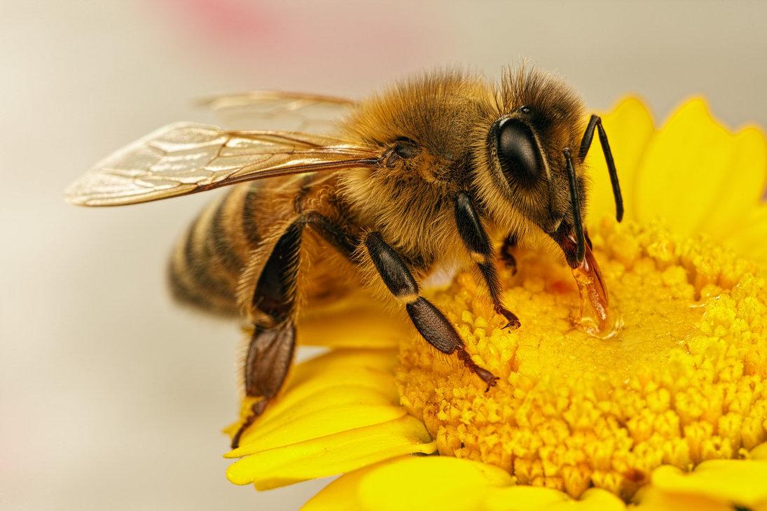 cib bee on flower (1).jpg