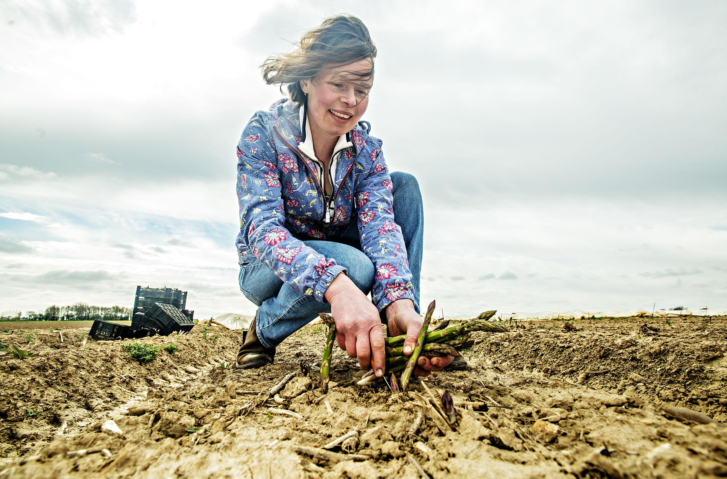 Asparagus farmer, Emma Tacon on her farm, Great Yarmouth. Norfolk