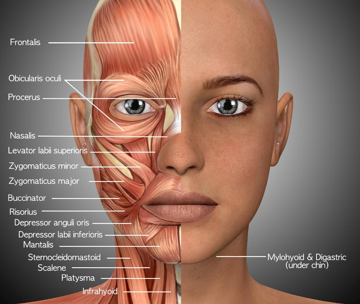 under chin muscle diagram what is face yoga      face yoga  what is face yoga      face yoga
