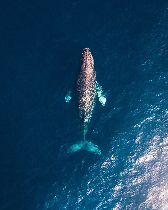 GIVEAWAY TIME: The eighth Droning With Whales & Dolphins Workshop is coming up this Saturday, May 25th and there is still one spot left for those wanting to officially book it! Check out the link in my bio for more info. You DON'T need to own a drone to attend it! I have three on hand. I'm giving away a spot for this weekend's workshop.  1. Tag one friend and follow me. (Each tag is a new entry, TAG AWAY) That's it. Winner will be picked and announced tomorrow morning with a post.  Value: $800 (with the swag bag of goodies). — Next workshop dates that are already filling up😍🙌🏻!! I'm blown away by some of you flying in from out of state for it! June 8th, 9th and 22nd. DM me for more info! I'll show you how I edit these whale shots during lunch after we fly over dolphin and whales. — Stay tuned for future drone tips!  Tools: @tiffencompany filters Tasty Tune: Living by Dierks Bentley