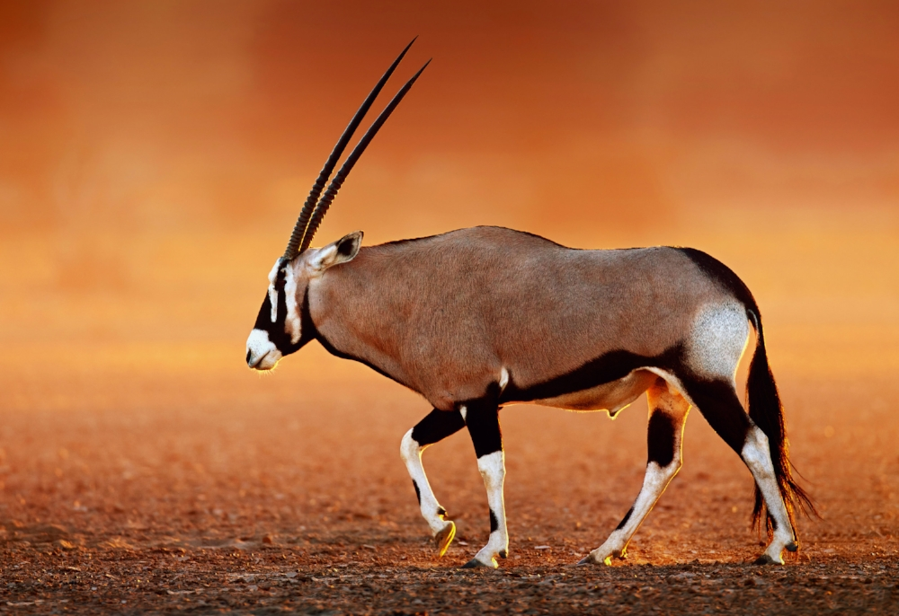 Oryx fact: Oryxes are known to dig holes in the sand in order to keep cool