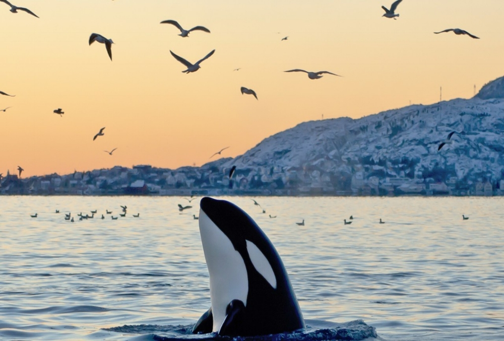 Orca fact: Orcas are the most widely distributed mammals in the world (not counting humans)