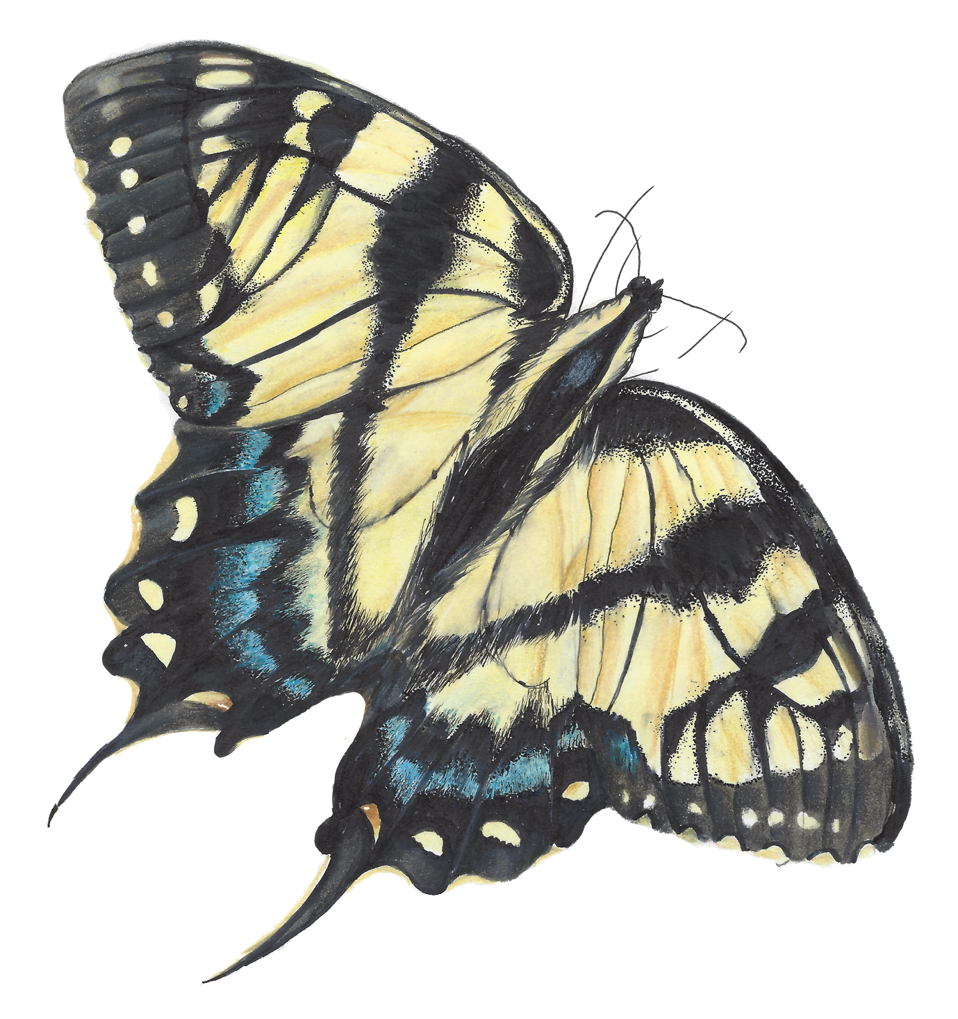 Animal swallow tail transparent bg.png